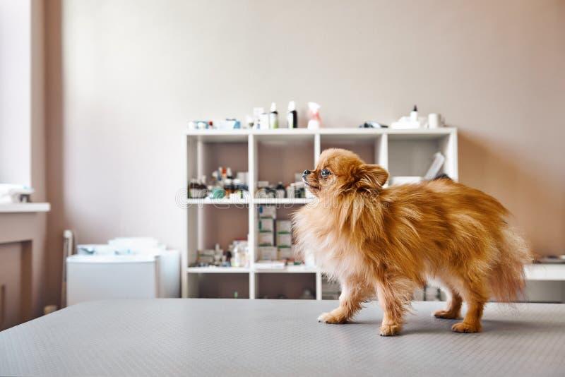 Klein, maar moedig! Leuk portret van weinig hond die zich op de lijst bevinden terwijl het bezoeken van veterinaire kliniek Het c royalty-vrije stock fotografie