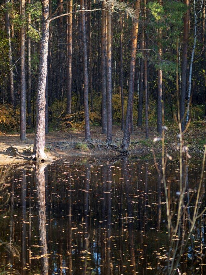 Klein meer met pijnbomen op de kust in het de herfstbos royalty-vrije stock foto