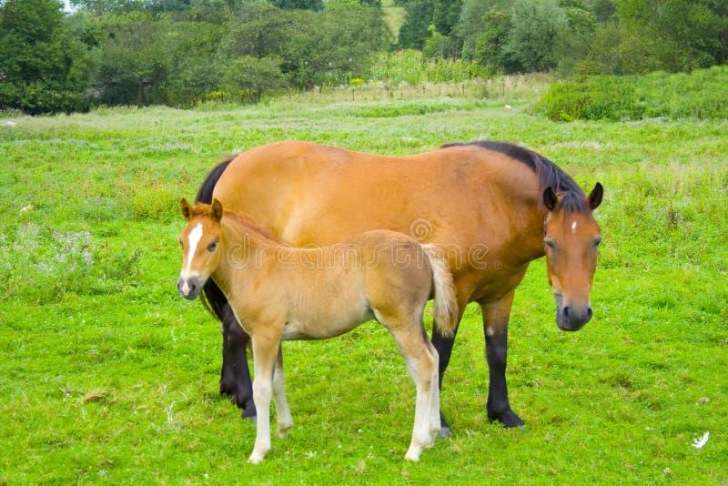 Klein paard met moeder royalty-vrije stock afbeelding