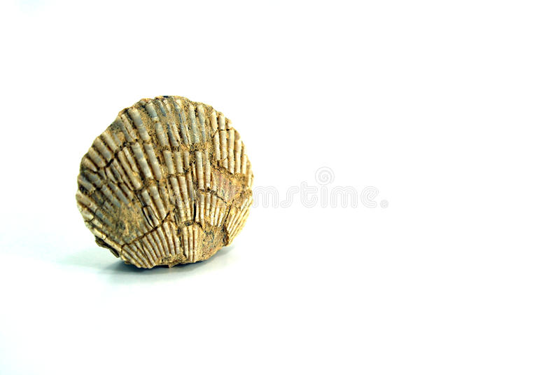 Klein pecten shell, fossiele, witte achtergrond royalty-vrije stock foto's