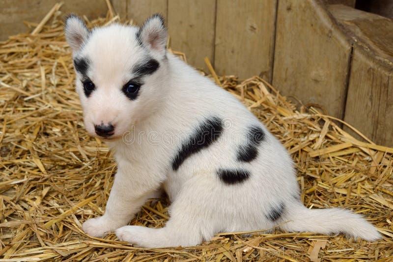 Klein puppy op stro stock fotografie