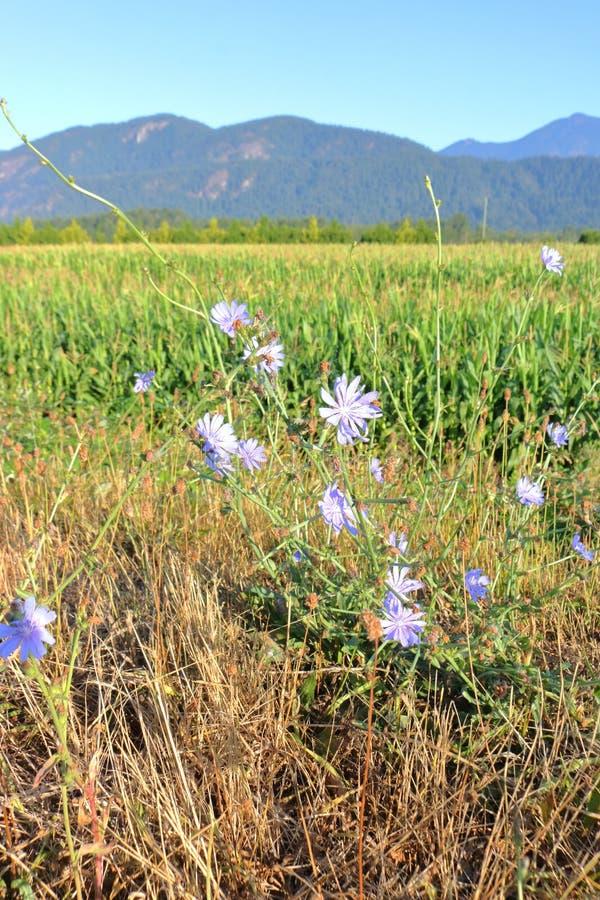 Klein Purper Wild Bloemen en Graangebied stock foto's