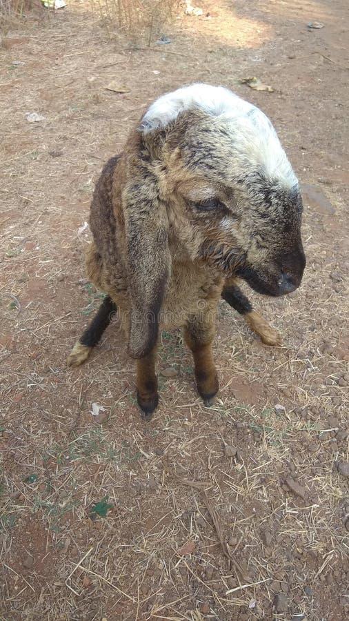 Klein schapen mooi lang oor royalty-vrije stock foto's