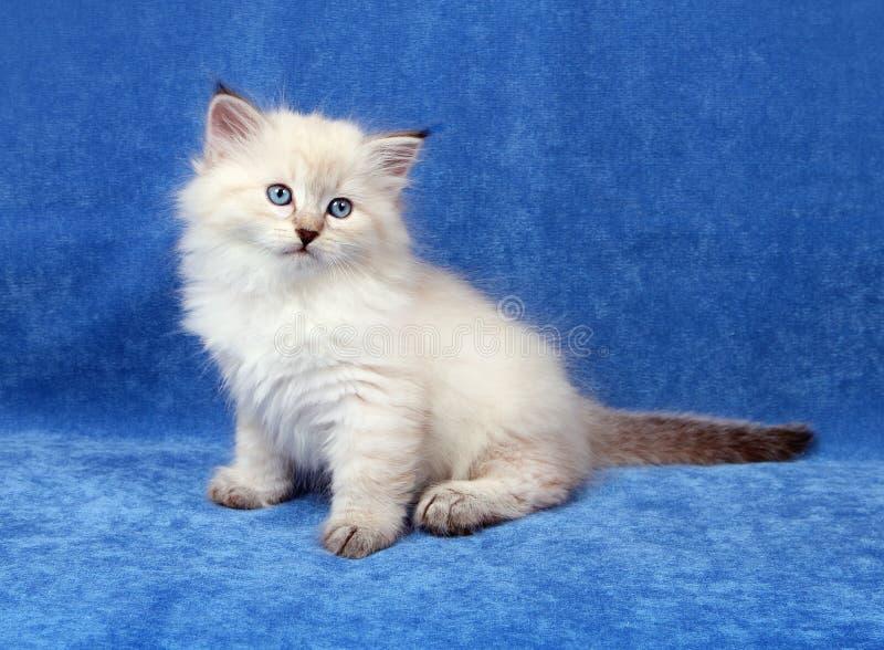 Klein Siberisch katje stock afbeeldingen