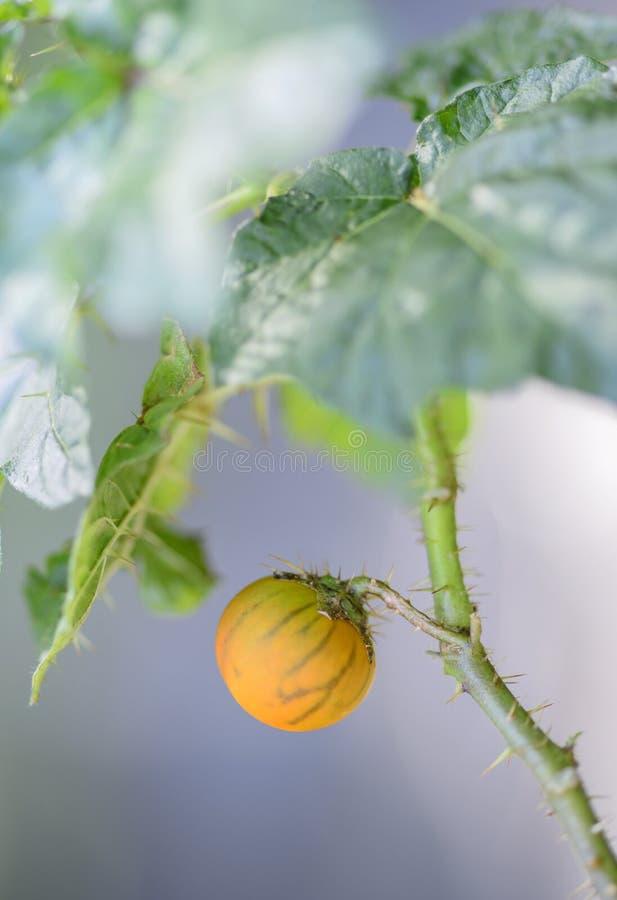 Klein Stekel (Nachtschade capsicoides) fruit stock fotografie