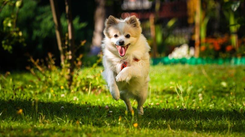 Klein tedesco dello spitz del cane di Pomeranian che corre verso la macchina fotografica immagine stock