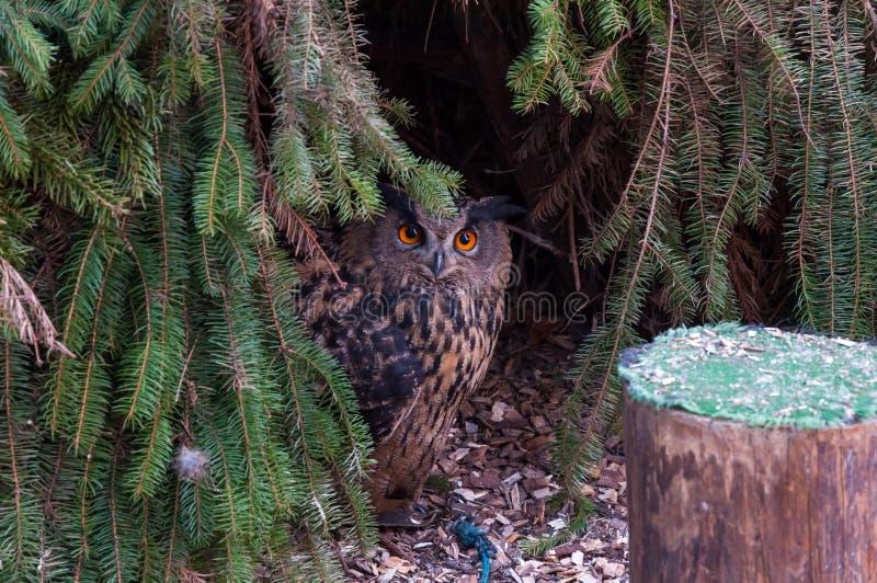 Klein uilportret onder de boom, oranje ogen, foto van de het wild de dierlijke aard stock foto