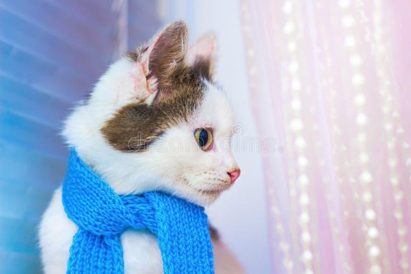 Klein wit bevlekt katje in een blauwe sjaal manieren r royalty-vrije stock foto