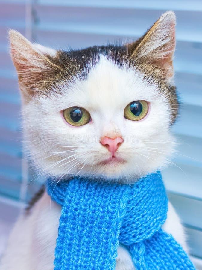 Klein wit bevlekt katje in een blauwe sjaal Portret van een kat binnen royalty-vrije stock afbeeldingen