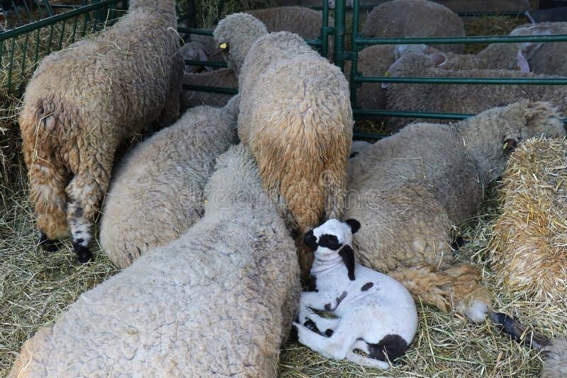 Klein wit lam onder schapen royalty-vrije stock afbeeldingen