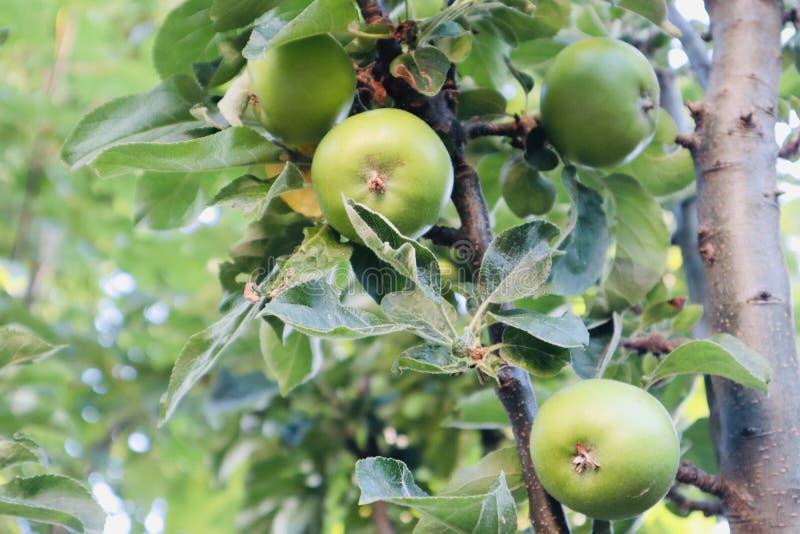 Kleine Äpfel, die auf einem Apfelbaum wachsen lizenzfreie stockfotografie