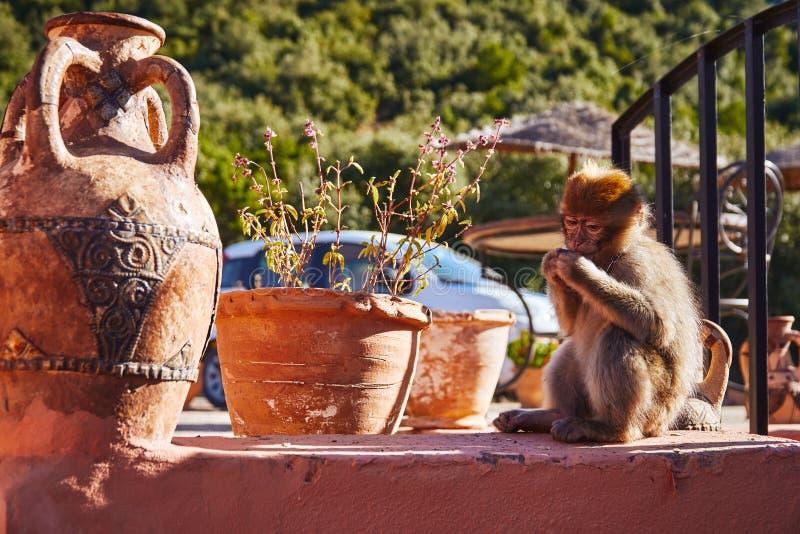 Kleine Afrikaanse binnenlandse aap stock afbeelding