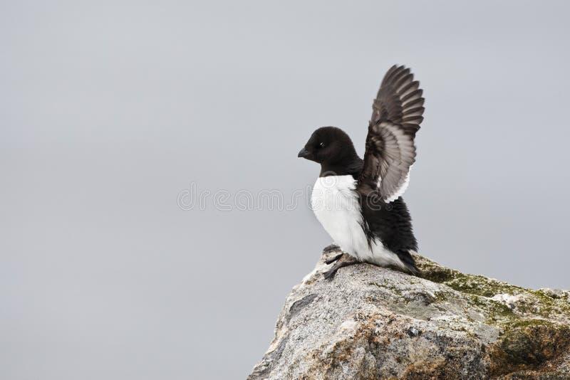 Kleine Alk, Little Auk, Alle alle. Kleine Alk volwassen zittend; Little Auk adult sitting on ridge stock photo