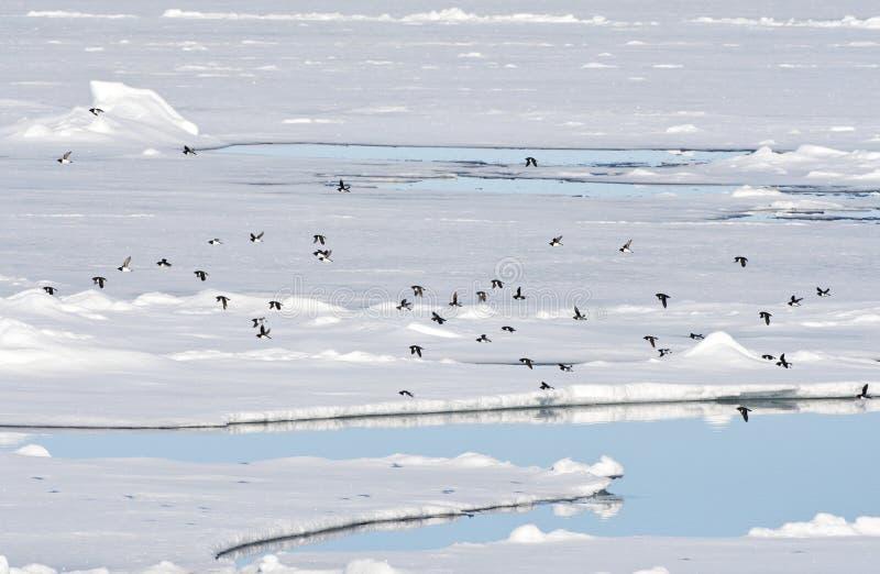 Kleine Alken vliegend boven pakijs; Little Auks flying above pac. Kleine Alken vliegend boven pakijs; Little Auk's flying above pack ice; Spitsbergen royalty free stock images