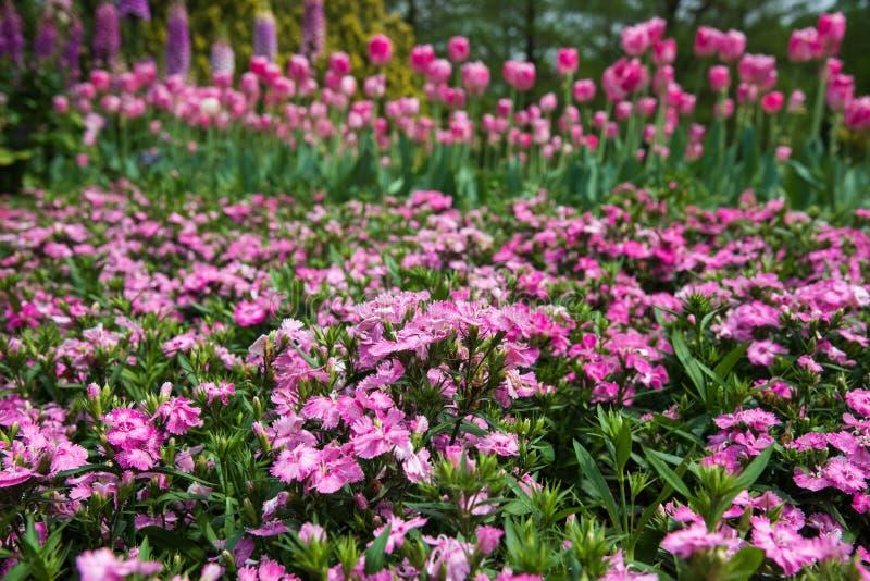 Kleine allgemeine rosa Blumen, die im Frühjahr Garten mit Tulpen blühen stockfotografie