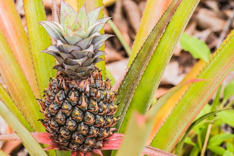 Kleine ananas stock afbeeldingen