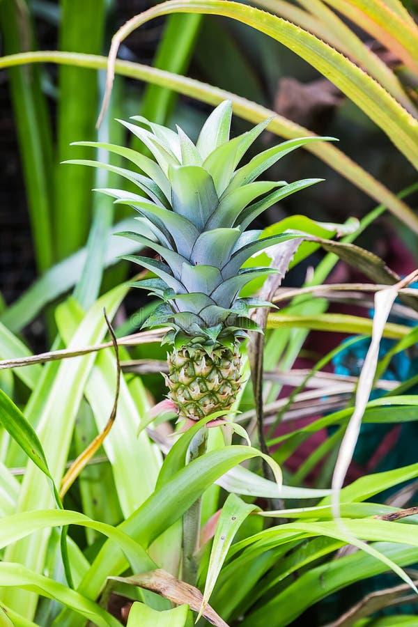 kleine ananas in tuin stock afbeelding