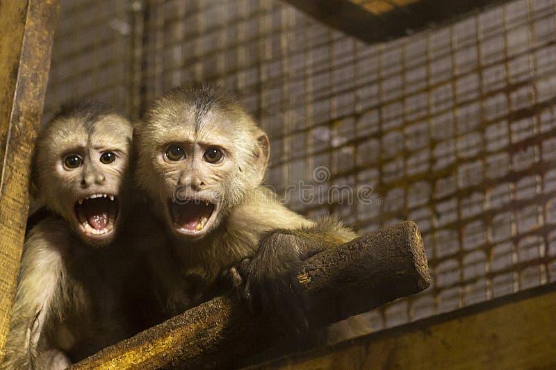 Kleine apen in de dierentuin het glas staring royalty-vrije stock foto
