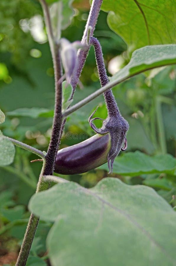 Kleine aubergine die in de serre wordt gekweekt royalty-vrije stock foto