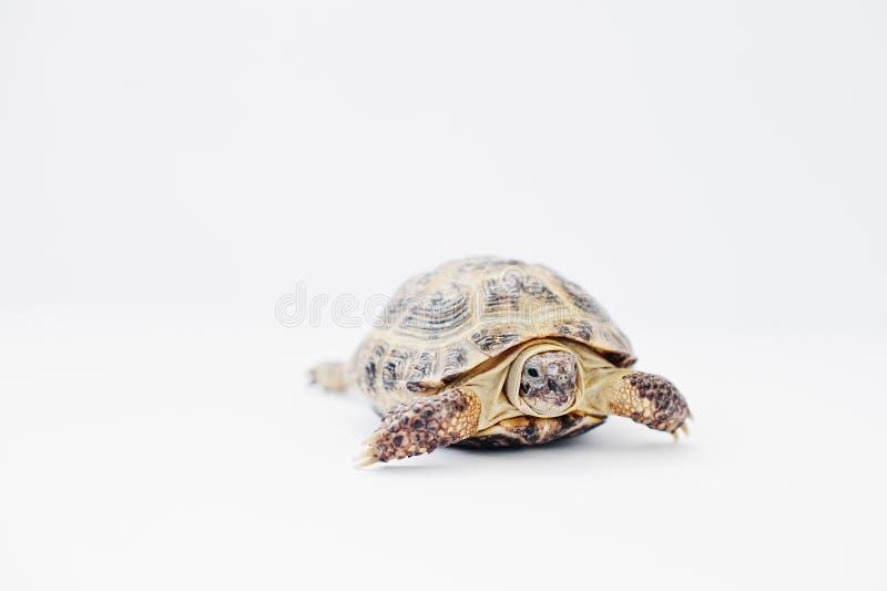 Kleine Aziatische schildpad over land die op wit wordt geïsoleerd royalty-vrije stock afbeeldingen