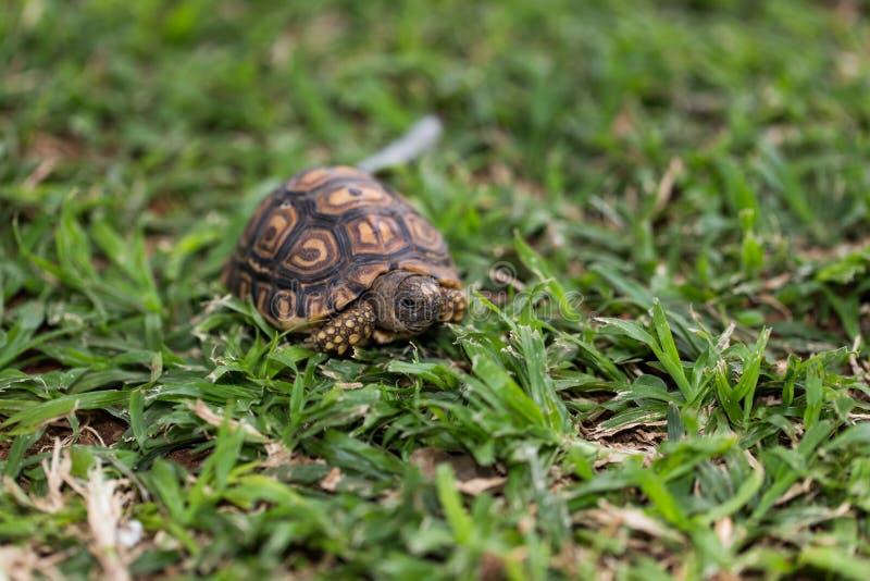 Kleine Babyschildkröte lizenzfreie stockbilder
