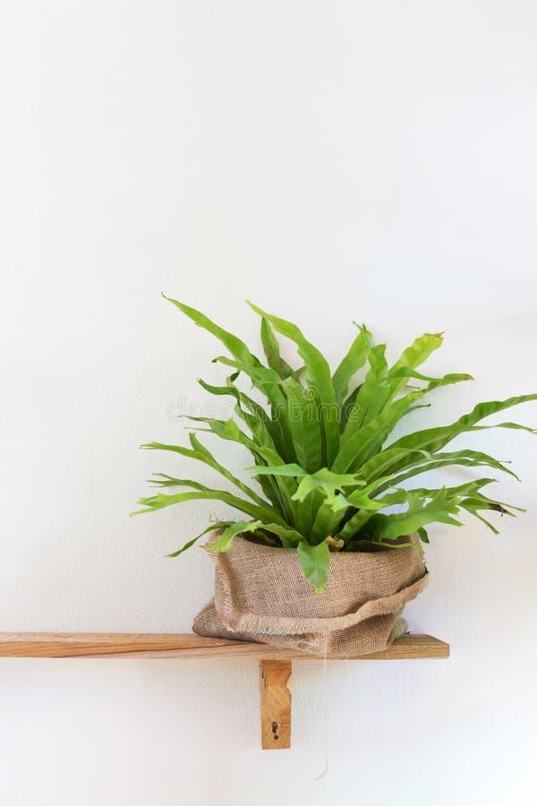 Kleine Baumtopfpflanze auf hölzernem Regal verzierte Innenraum stockfotos