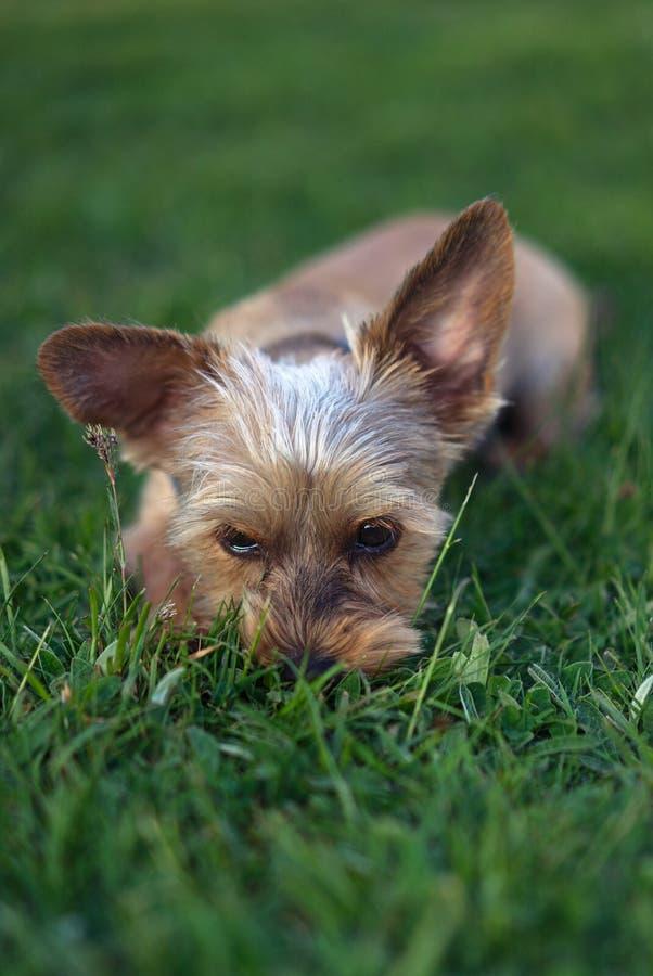 Kleine beige puppyhond royalty-vrije stock afbeeldingen