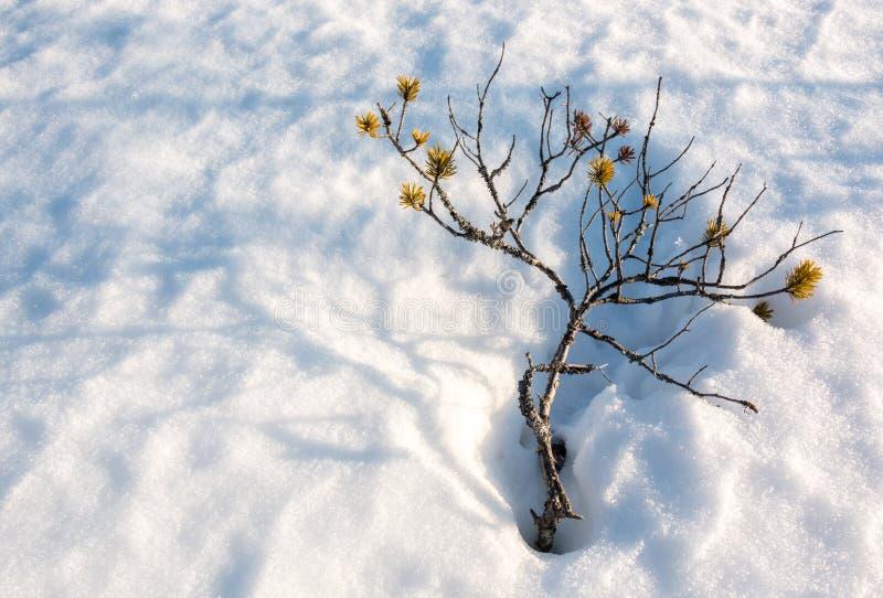 Kleine belemmerde pijnboom met schaduwen op de sneeuwdekking bij een Noords moeras stock afbeeldingen