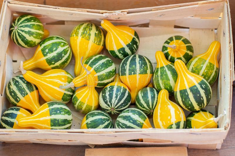 Kleine Bicolor Pumpkins A yellow green little pear shaped pumpkin, harvest festival stock images