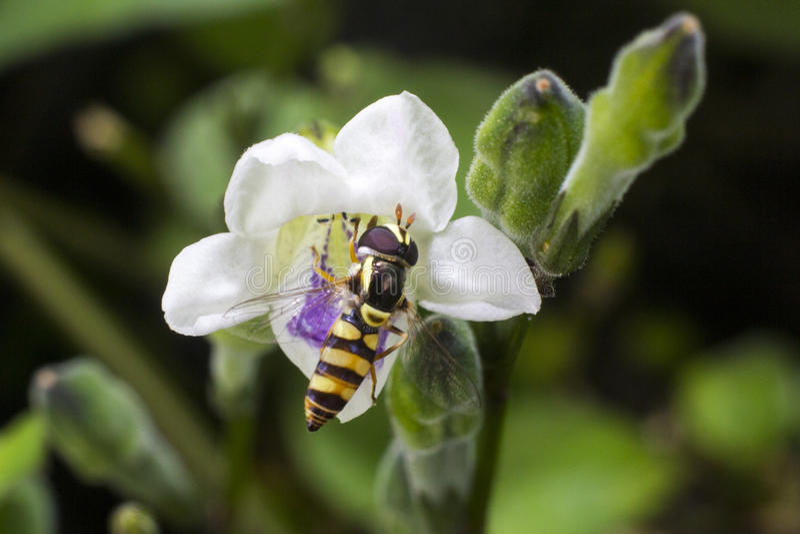 Kleine Biene stockfotos