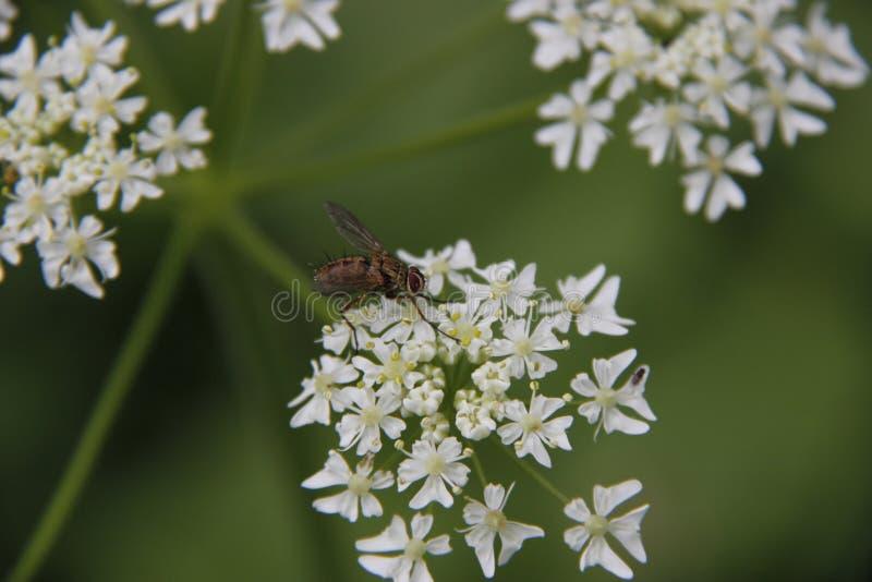 Kleine Biene auf einer weißen Blume im Garten lizenzfreie stockbilder