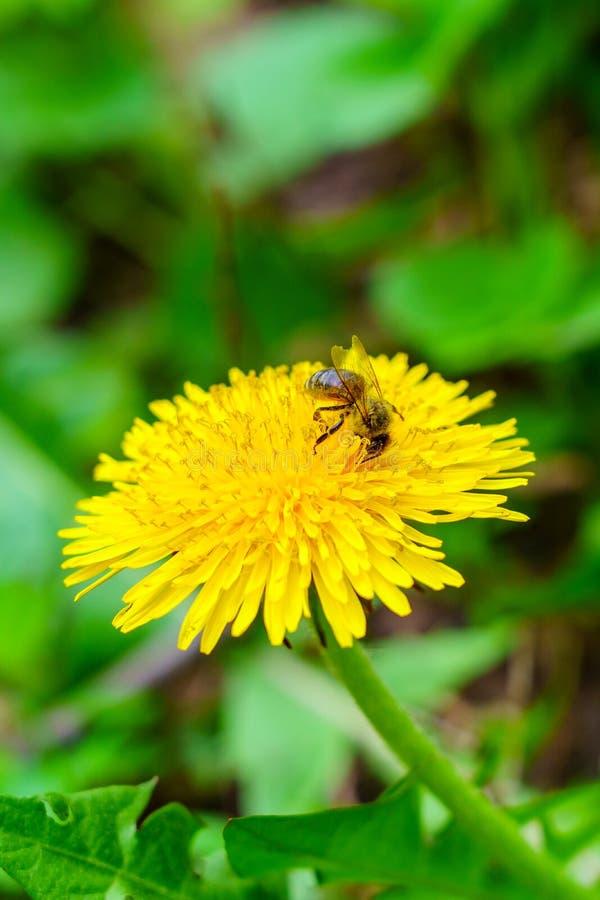 Kleine bij op gele paardebloem in groen gras in de tuin royalty-vrije stock foto's