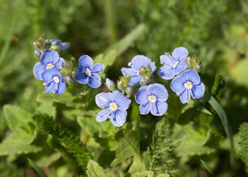 Kleine blaue Blumen lizenzfreies stockfoto