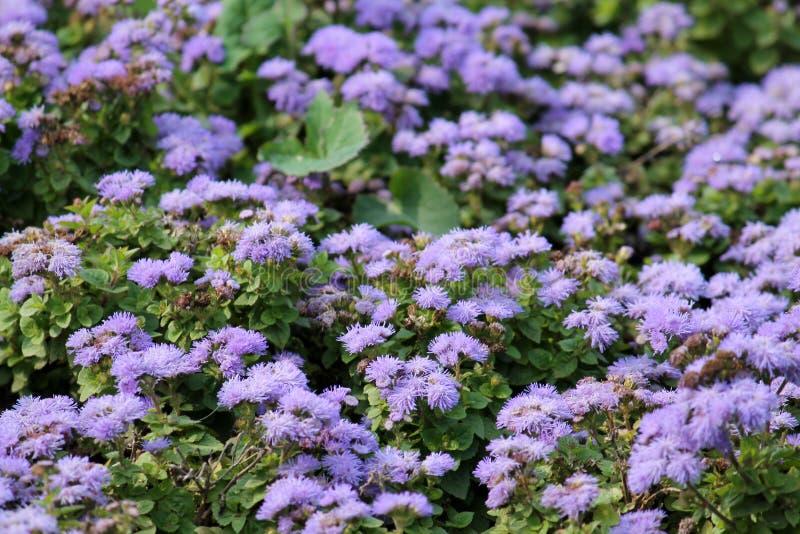 Kleine blaue Blumen des mexikanischen Malerpinsels oder des Ageratum houstonianum lizenzfreies stockbild
