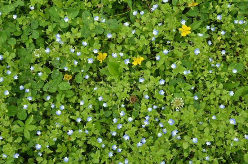 Kleine blaue Blumen im grünen Gras Feld des gr?nen Grases gegen einen blauen Himmel mit wispy wei?en Wolken lizenzfreies stockbild