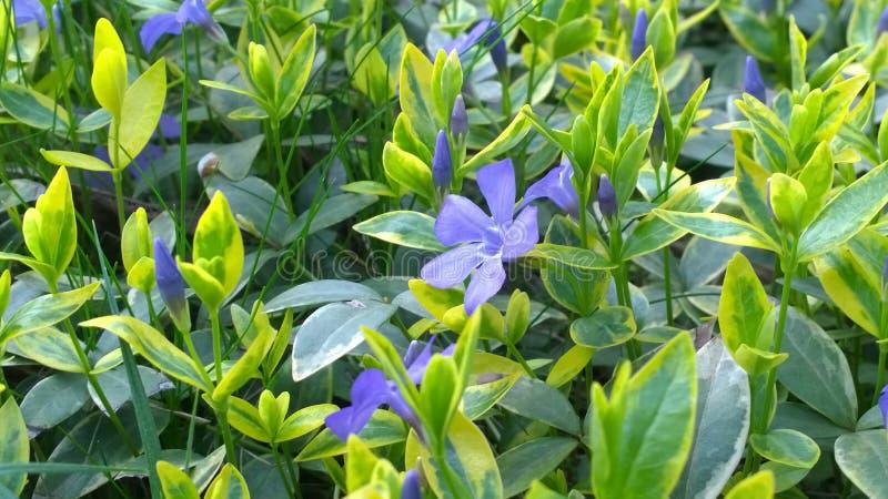 Kleine Blaue Blumen Mit Veränderten Blättern Arbeiten Im Frühjahr Im ...