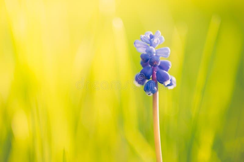 Kleine blaue Blumentraubenhyazinthe wachsen auf Frühlingsfeld lizenzfreies stockbild