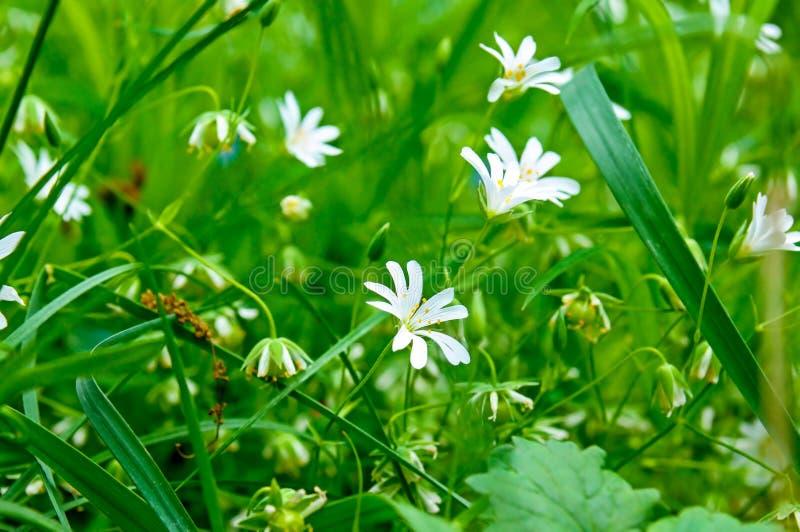 Kleine blauwe bloemen van vergeet-mij-nietje tegen de achtergrond van groen gras Ondiepe Diepte van Gebied stock fotografie