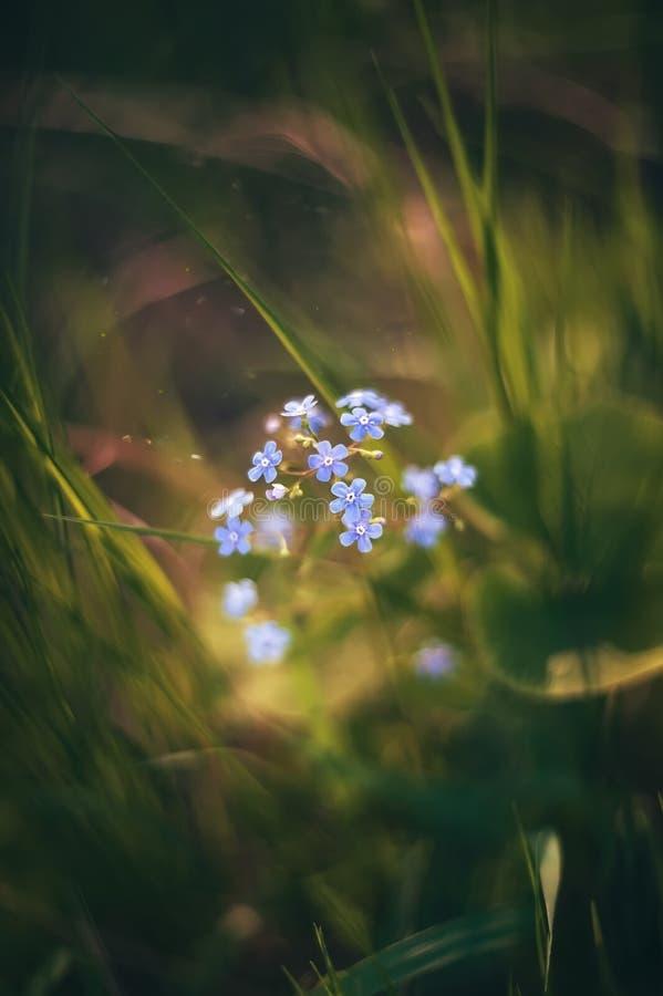 Kleine blauwe bloemen vergeten-me-in de lenteavond Retro kijk Art De ruimte van het exemplaar stock afbeeldingen