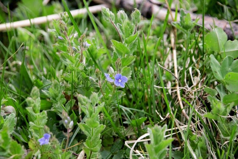 Kleine blauwe dichte omhooggaande de vlamachtergrond van de tuinbloem royalty-vrije stock fotografie