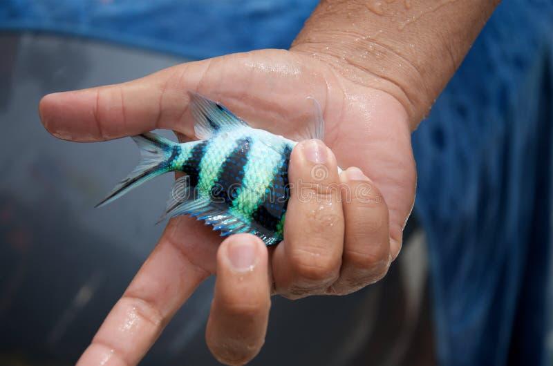 Kleine blauwe gestreepte tropische vissen in man hand royalty-vrije stock foto's