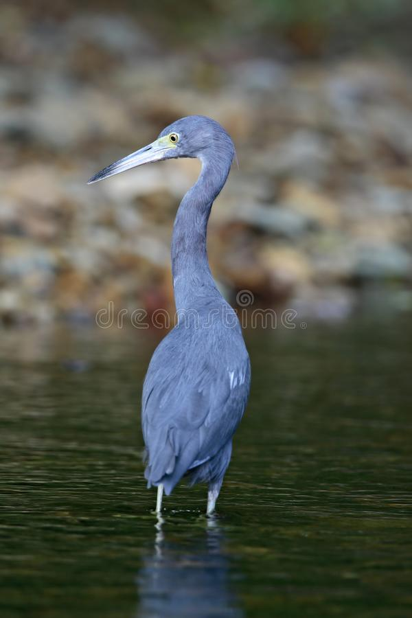 Kleine Blauwe Reiger, Little Blue Heron, Egretta caerulea. Kleine Blauwe Reiger subadult wadend in moeras Tobago, Little Blue Heron subadult wading in swamp royalty free stock images