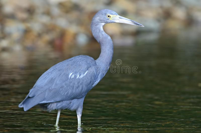 Kleine Blauwe Reiger, Little Blue Heron, Egretta caerulea. Kleine Blauwe Reiger subadult wadend in moeras Tobago, Little Blue Heron subadult wading in swamp royalty free stock photo