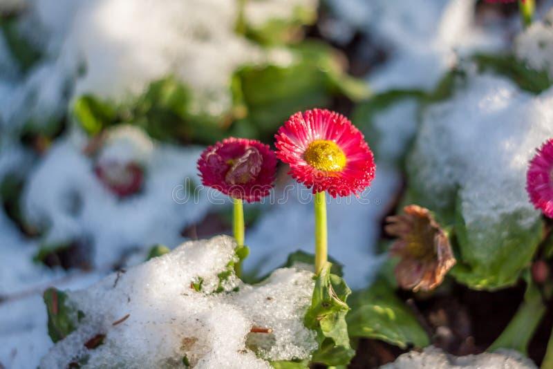 Kleine bloem in een tuin met ijs stock afbeeldingen
