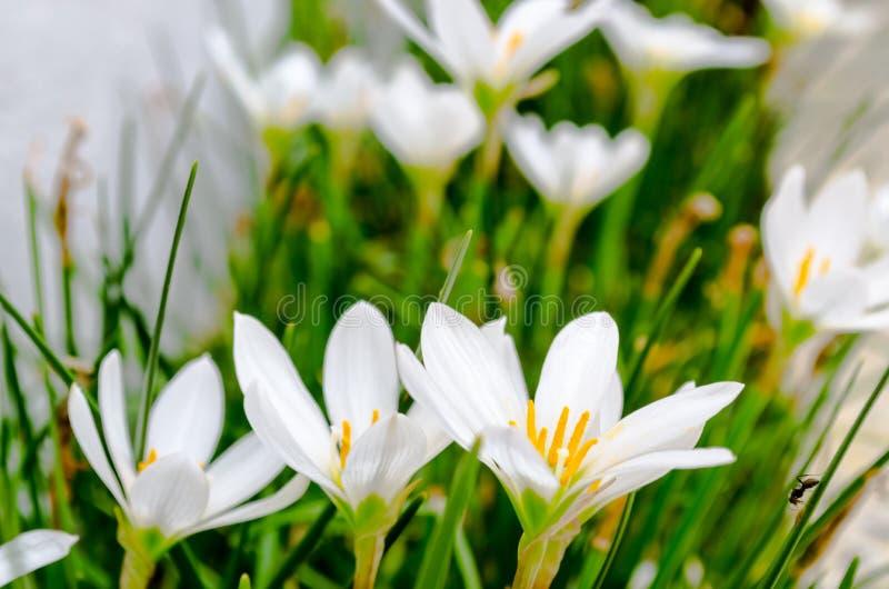 Kleine Blumen des weißen Gänseblümchens gruppiert mit den hervorgehobenen Blumenblättern mit Seitenansicht lizenzfreies stockfoto