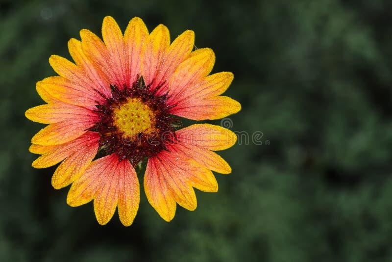 Kleine Blumen- und Wassertropfen stockbild