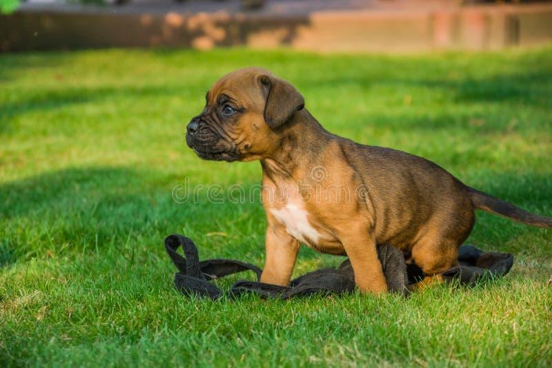Kleine bokserhond op het groene gras stock afbeelding