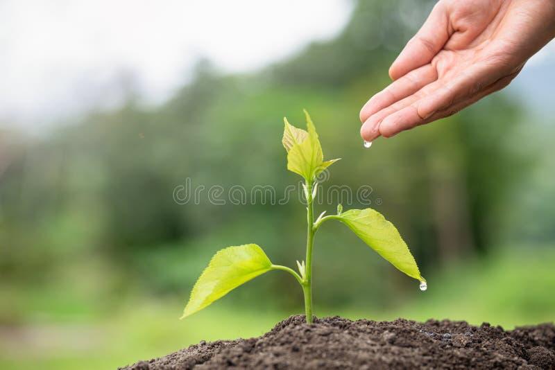 Kleine bomen groeien, handen om voor te zorgen en te besproeien Begrip milieubehoud en vermindering van de opwarming van de aarde stock foto's