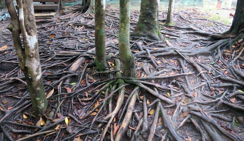Kleine bomen met heel wat wortels dichtbij de rivier royalty-vrije stock afbeeldingen