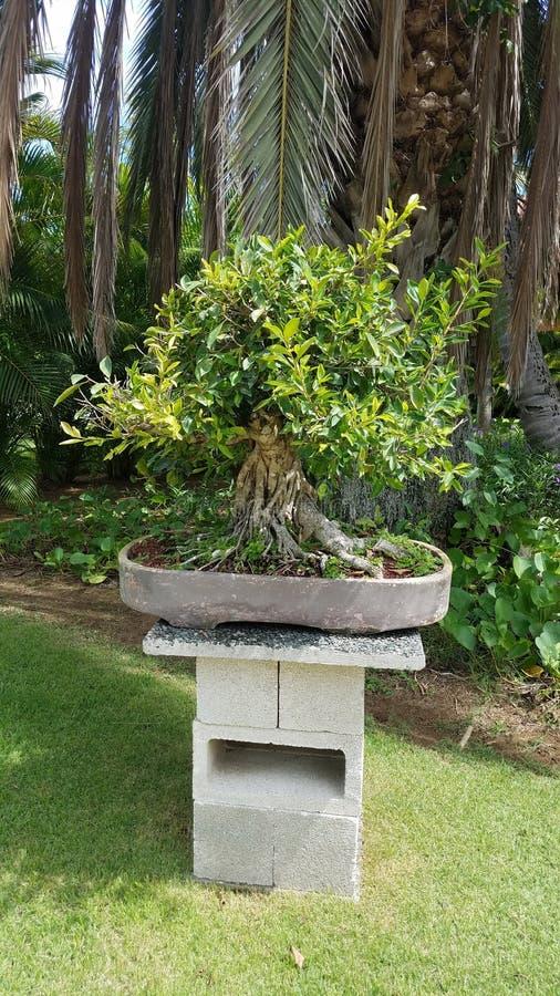 Kleine bonsaiboom met groene bladeren op cementlijst in Guanica, Puerto Rico stock afbeelding